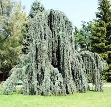 Кедр ливанский Glauca Pendula высота 250-300 см цена купить в Украине