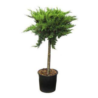 Можжевельник казацкий Tamariscifolia 100-120 см штамб цена купить в Киеве