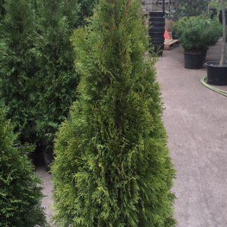 Туя западная Smaragd высота 120-140 см цена купить в Киеве