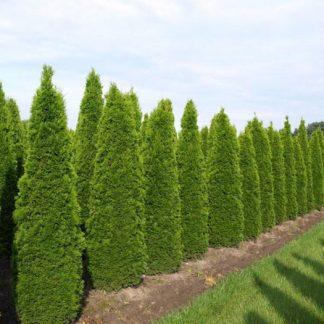 Туя западная Smaragd высота 180-200 см цена купить в Киеве